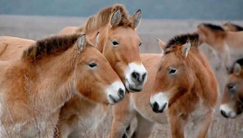 ВОренбургскую область изВенгрии доставили 14 лошадей Пржевальского
