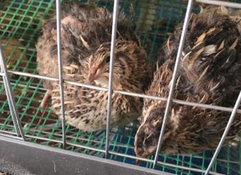 Спой-ка с нами, перепелка. Оренбурженка содержит 50 птиц в подъезде жилого дома