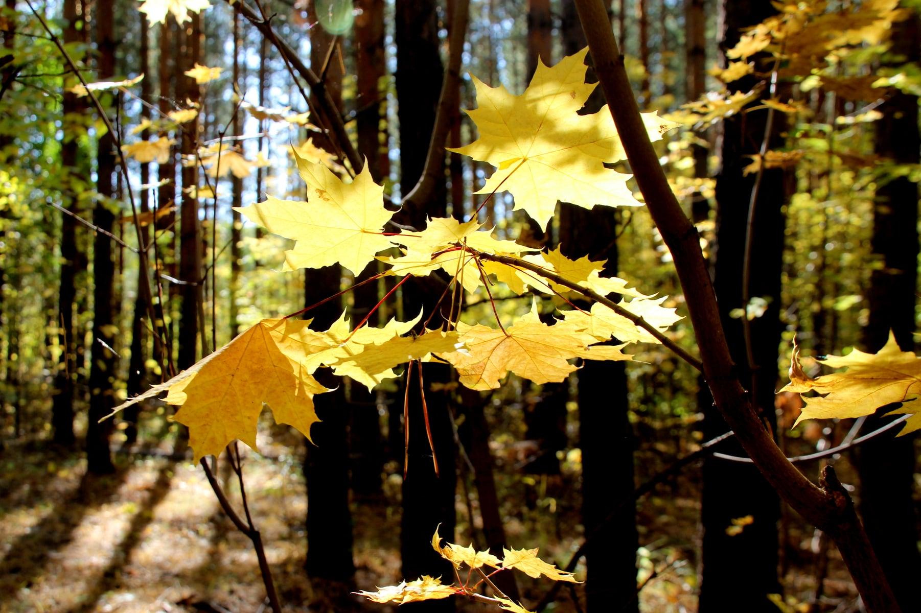 Клены во всей красе. Осенняя фотоподборка Тугустемира от Жанны Валиевой