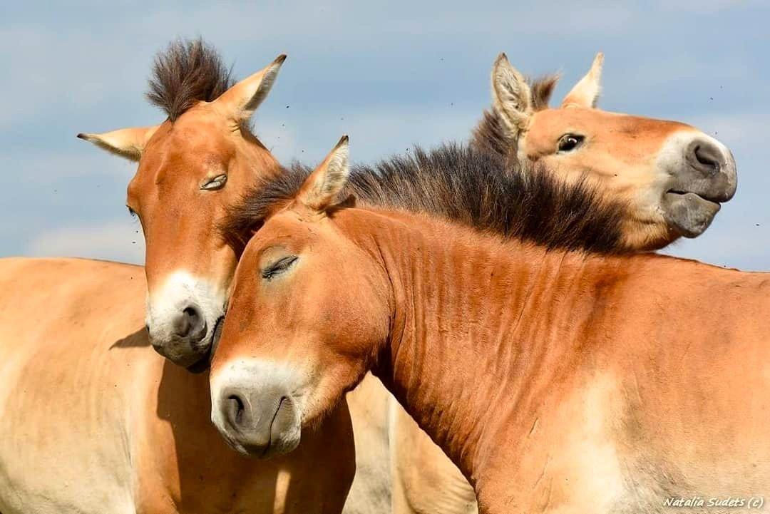 Оренбургских лошадей Пржевальского «обнулили»